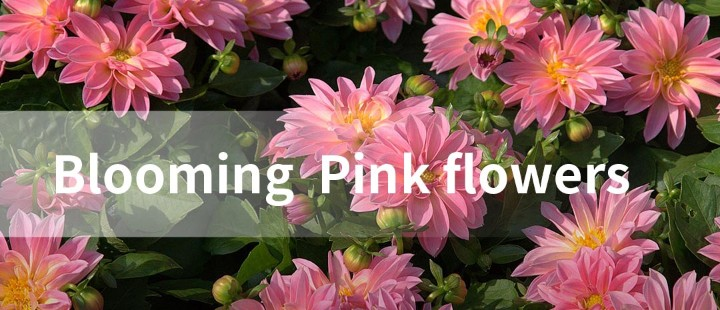Blooming Pink flowers